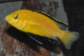 Labidochromis caeruleus Lion's Cove 1,0.