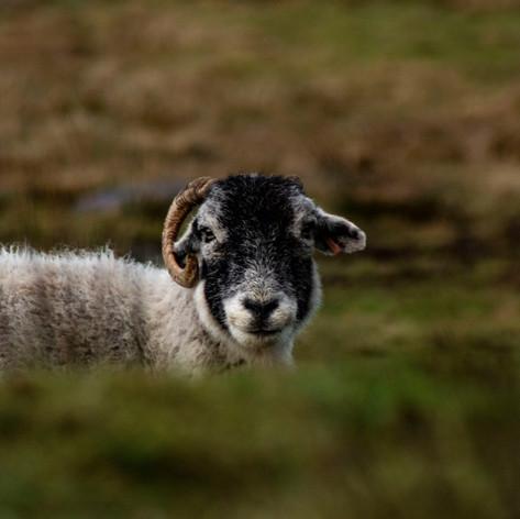 mr sheep.jpg