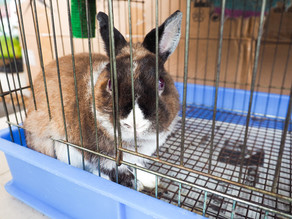 """""""Buy a Bunny for Easter,"""" Says Local Rabbit Breeder"""
