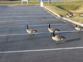Geese Are in the Parking Lot Again