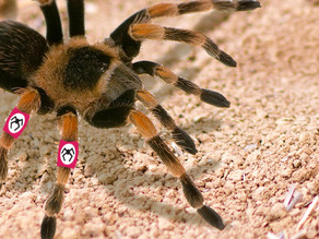 Just as News Cycle Closes on Murder Wasps, Nazi Tarantulas Spotted in the Southwest U.S.