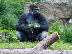 Louisville Zoo Tragedy! Adult Male Gorilla Cruelly Reveals to Baby Kindi She's Adopted