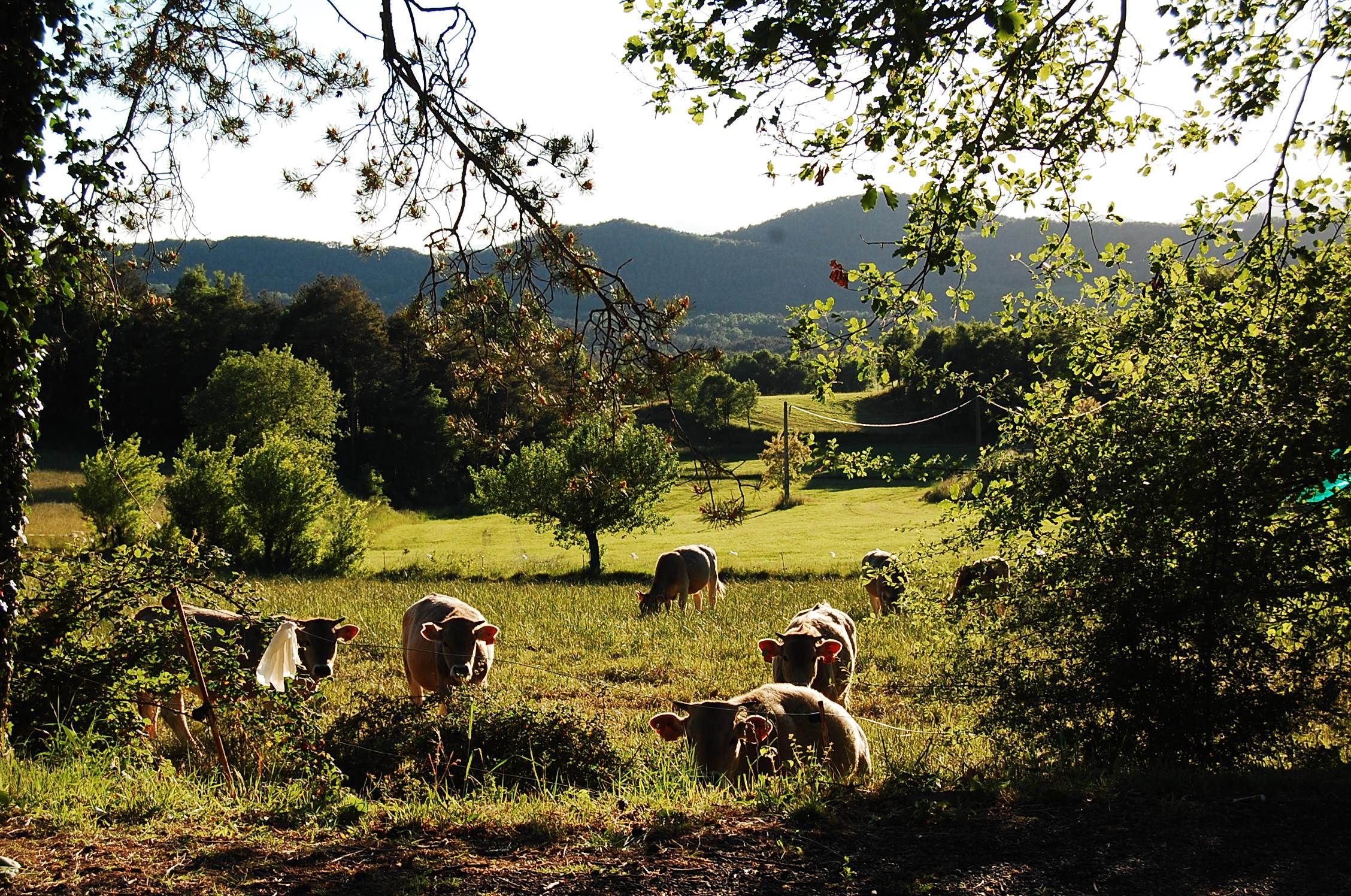 Ramats de vaques