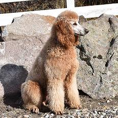Knightly | Standard Poodle | Dog Breeder