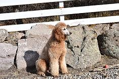Knightly _ Standard Poodle _ Dog Breeder