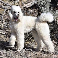 Wickham _ Standard Poodle _ Dog Breeder