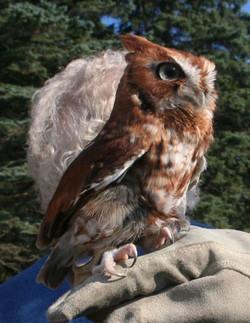 CR Owl On Shoulder