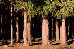 Choosen Ranch Tree Shadows