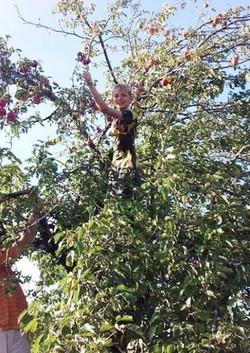 CR Apple Picking