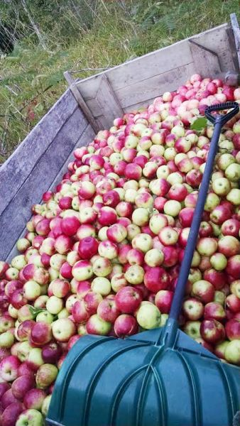 CR Apple Bin