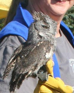CR Owl On Glove