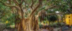 Ficus de socotra-1.jpg
