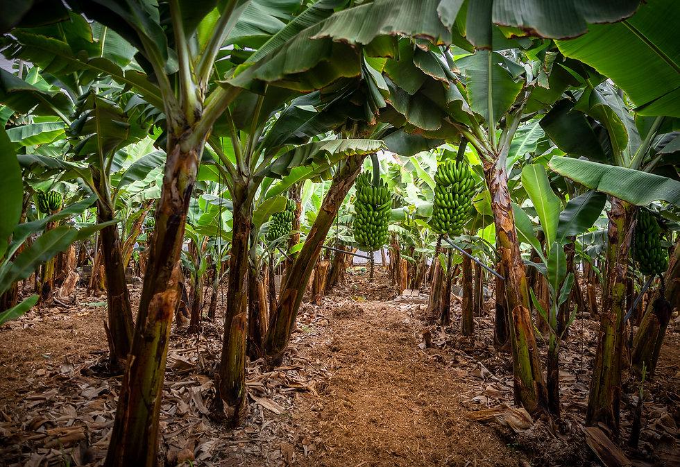 Plátanos El Cubillo-7.jpg