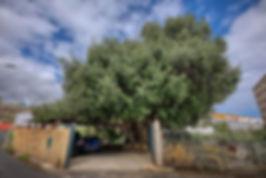 Acebuche_de_Llano_Parra_-_Árboles_Singul