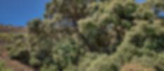 Encina de Los Pichachos-2.jpg
