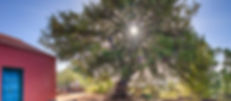 Cedro de Osorio-2.jpg