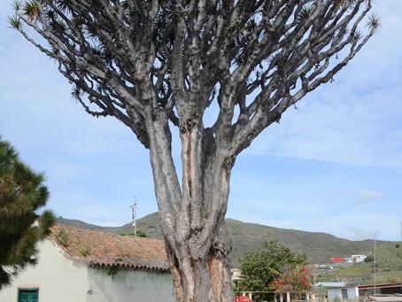 El Cabildo y el Ayuntamiento de Valsequillo actúan para conservar el histórico Drago de Luis Verde