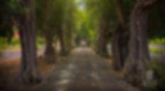 Algarrobos_de_la_Bodega_de_San_Juan_-_Ár