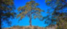 Pino de Cassandra-2.jpg