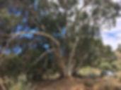 Eucaliptos_del_barranco_de_Tecén_-_Árbol