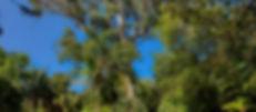 Eucalipto del Paseo de Osorio-3.jpg