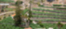 Araucarias del Guiniguada-4.jpg