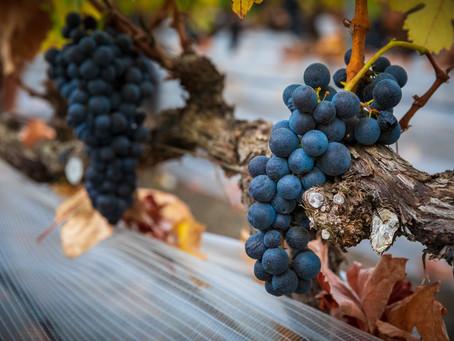 El CRDO de Vinos de Gran Canaria reporta un ligero aumento de producción en su vendimia