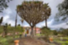 Drago_de_la_Data_de_La_Concepción_-_Árbo