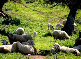 Ganaderos de Cádiz luchan por conservar su pastoreo en semilibertad, tras el que se esconde la fama