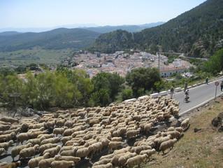 """""""Un rebaño de calidad: Cinco generaciones criando ovejas Merina de Grazalema"""""""