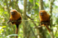 mico.jpg