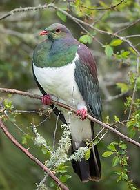 Kereru NZ wood pigeon - image by Sharon Wright