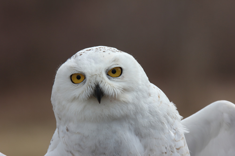 Juvenile SY male snowy owl.