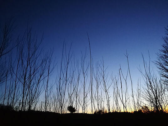 tree silouettes at dusk