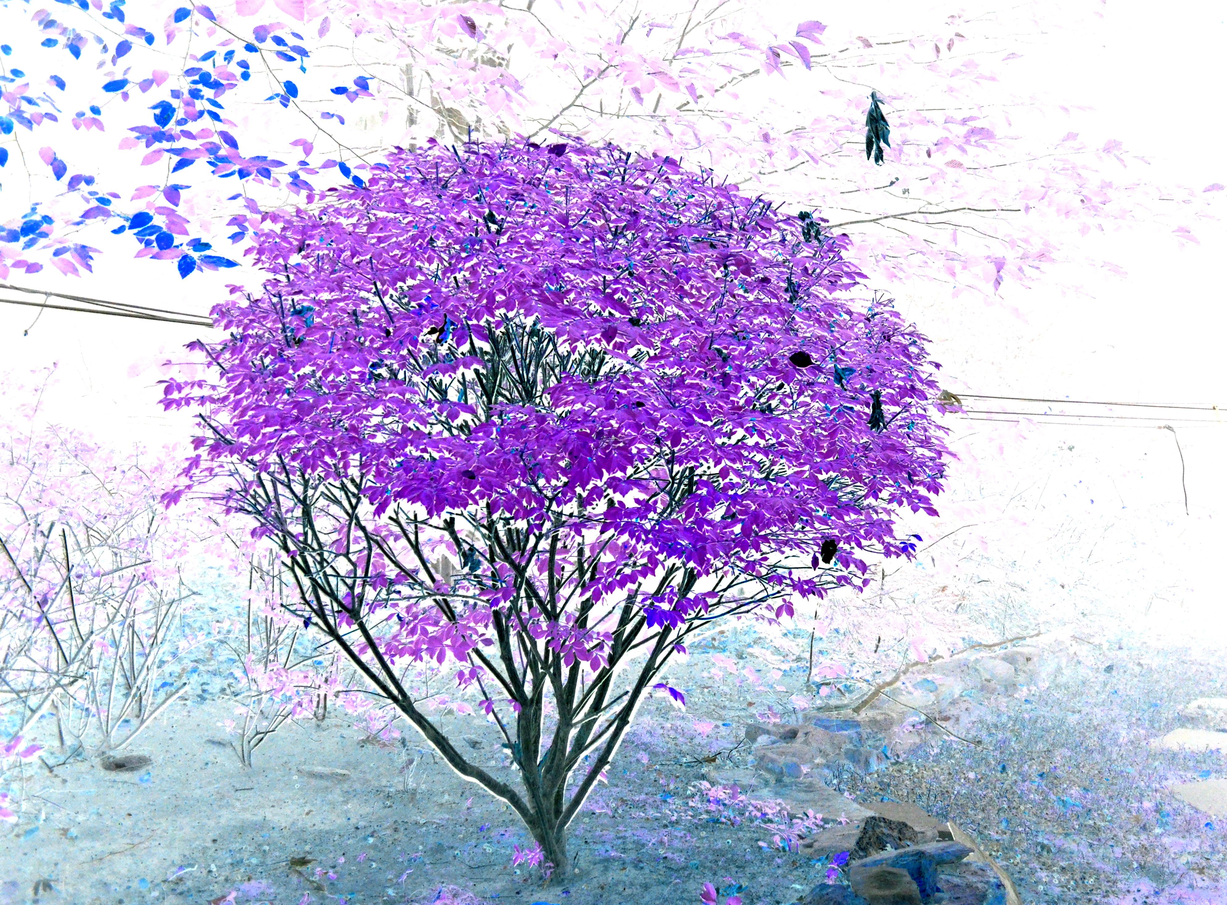 Purple Burning Bush