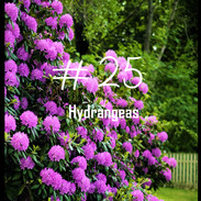 25 Hydrangeas.jpg