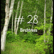 28 Birchtrees.jpg