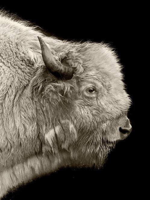 Spirit Buffalo Print