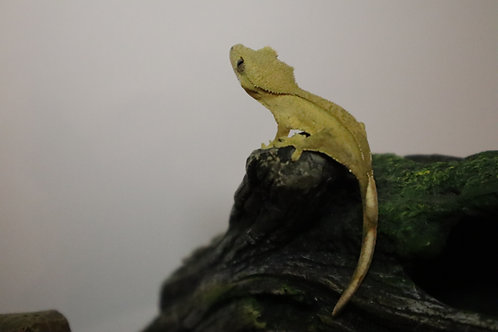 Bi-color Crested Gecko Hatchling
