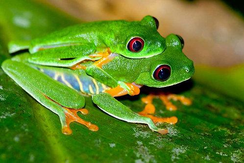 Red Eye Tree Frogs
