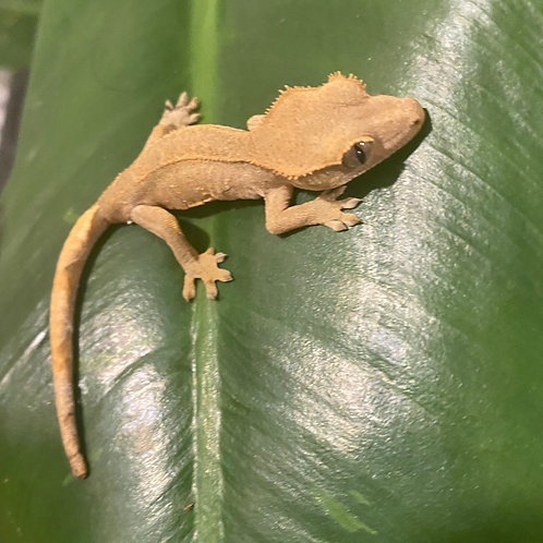 Crested Gecko Hatchling (Unsexed) Flame