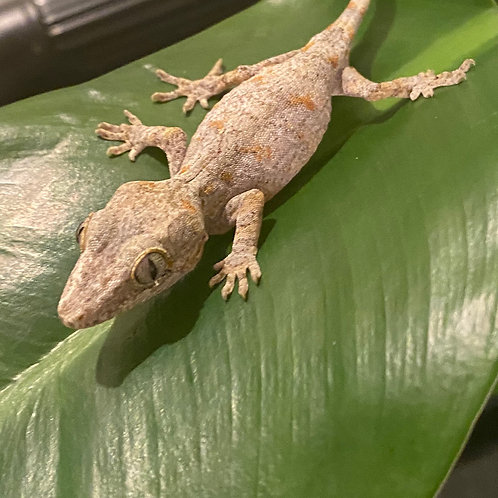 Hatchlings  Reticulated  Gargoyle Gecko (unsexed)