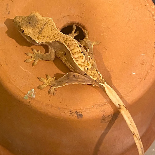 Crested Gecko Hatchling (Unsexed) pinstriped