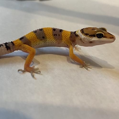 Normal Leopard Gecko