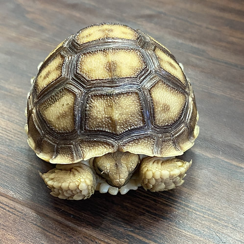 Sulcata Hatchlings