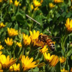 טוביה פאול- דבורה על פרח