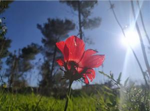 מעיין קליין- כלנית מביטה לשמש