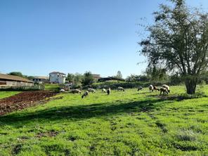 נגה יעקובי - כבשים בשדות לוזית