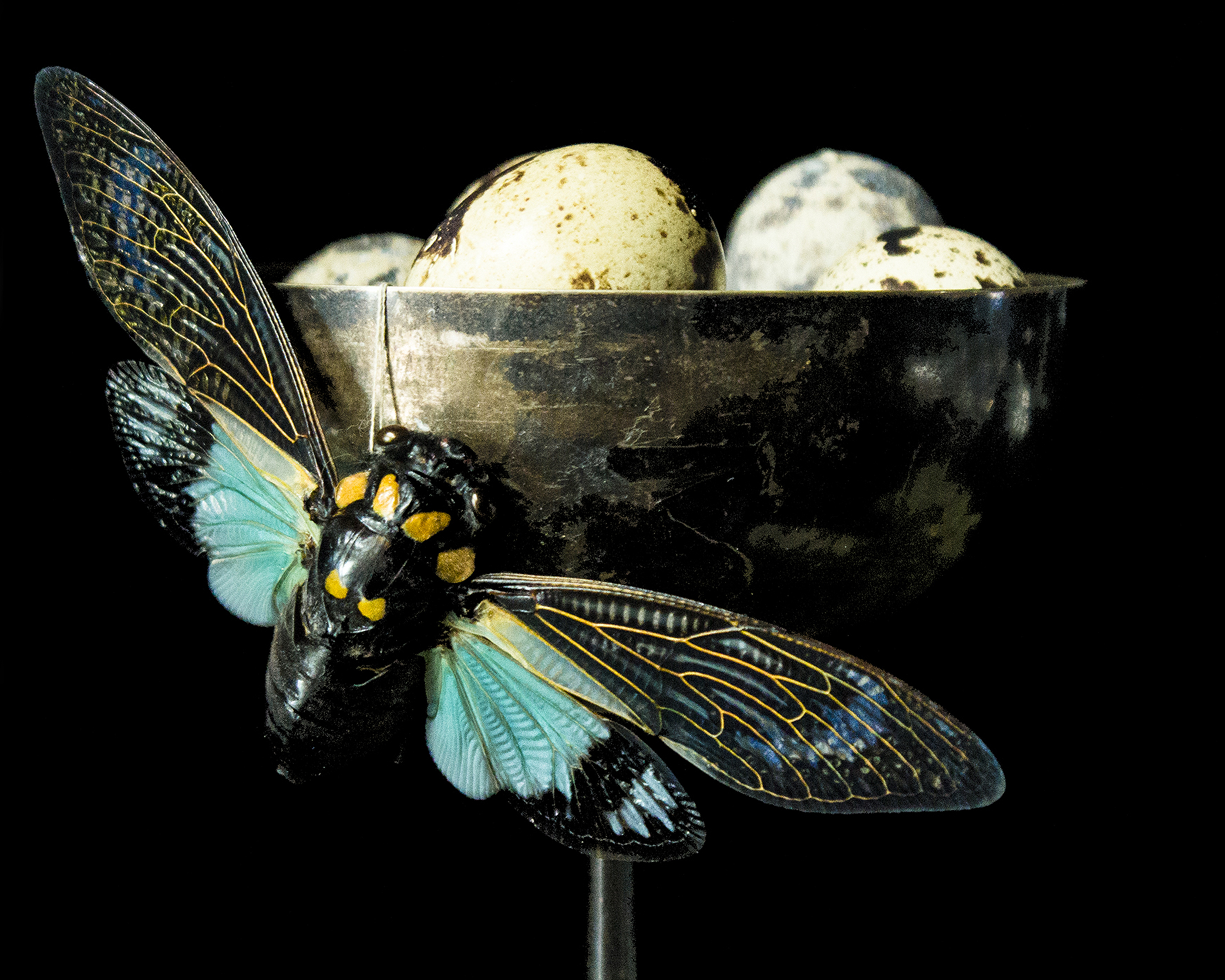 Cicada and Quail Eggs, Special Edit.