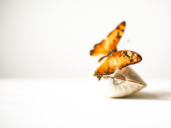 Orange Butterfly & Gold Clam